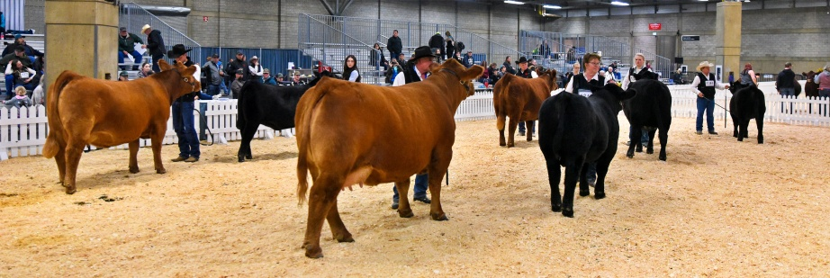 DVE Davidson Ms Jennings 29C and DVE Davidson Humble J 97G in the show ring.